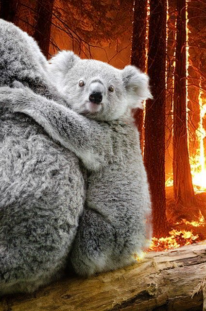 Koala with burning forest background
